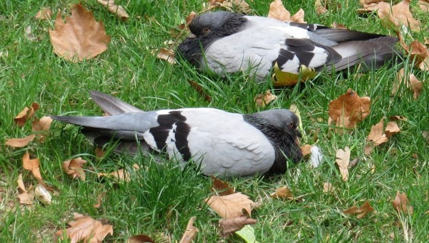 Two Blue Band pigeons