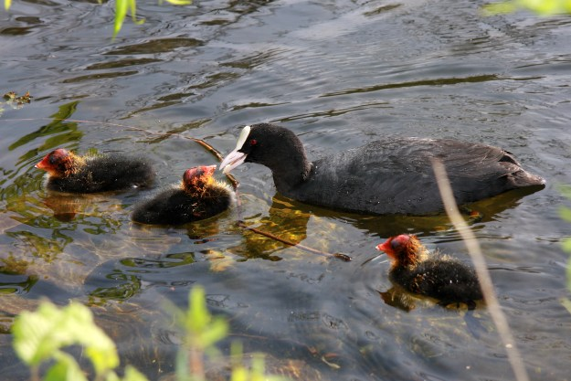 "Coot feeding chicks (""Sothöns-6"". Licensed under Public Domain via Commons - https://commons.wikimedia.org/wiki/File:Soth%C3%B6ns-6.JPG#/media/File:Soth%C3%B6ns-6.JPG)"