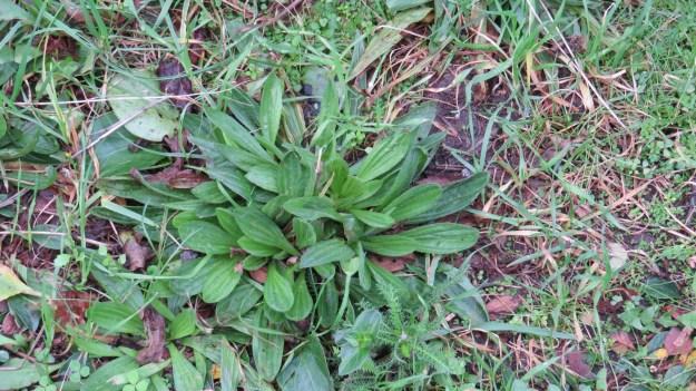 Leaves of Ribwort Plantain (Plantago lanceolata)