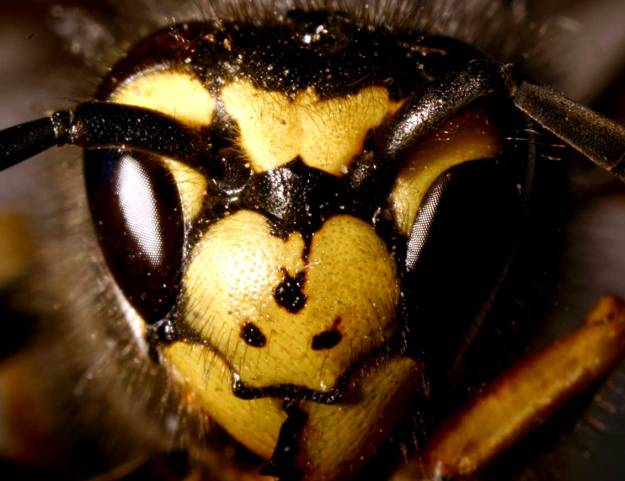 """""""Vespula germanica01"""" by ©entomart. Licensed under Attribution via Commons - https://commons.wikimedia.org/wiki/File:Vespula_germanica01.jpg#/media/File:Vespula_germanica01.jpg"""