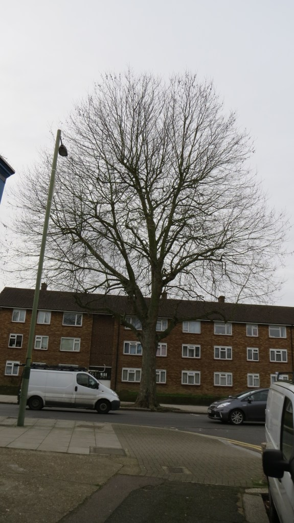 The 'Starling Tree' opposite Bedford Road in East Finchley
