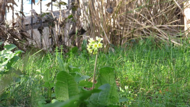 Cowslip (Primula veris) - flowers early spring