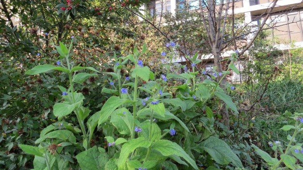 Green Alkanet (Pentaglossis sempervirens) - flowers March to July