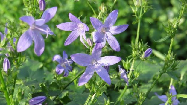 Trailing Bellflower (Campanula poscharskyana) - flowers June to October