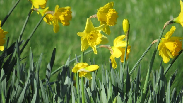The paradoxical daffodil (Narcissus pseudonarcissus)