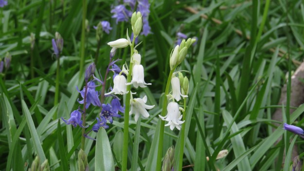 Hybrid bluebells, along with some white ones, from the cemetery. I will see if I can find you some pink ones too...