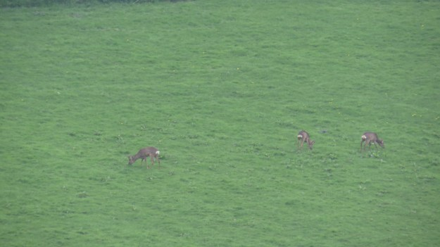 Distant deer...