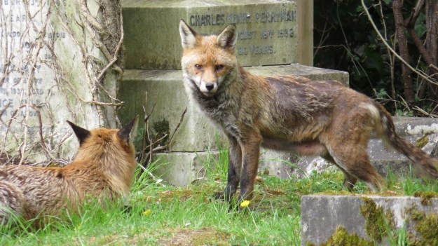 The vixen and the dog fox earlier this week