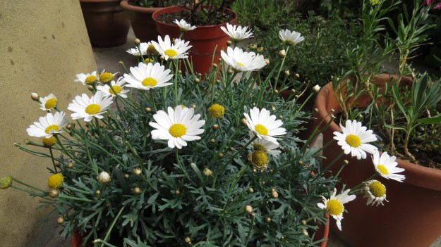 My pot of oxeye daisies