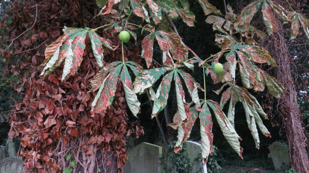 Horse chestnut leaves showing leaf miner damage