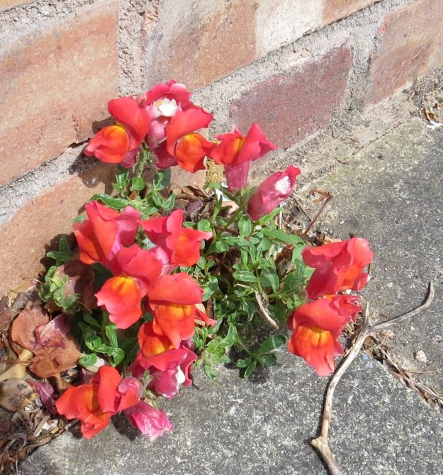 Antirrhinum majus growing at the bottom of a wall in the County Roads, East Finchley