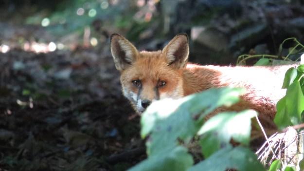 Dog Fox
