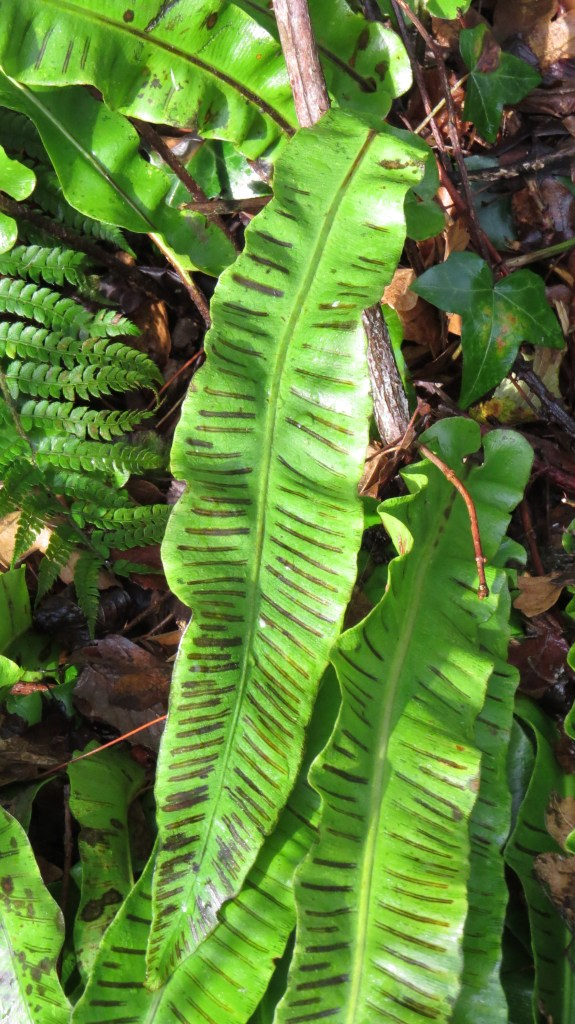 The spores of the hart's tongue fern.
