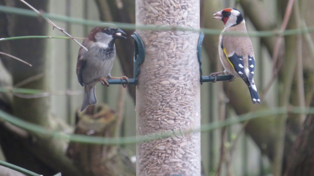 House Sparrow and Goldfinch on seed feeder