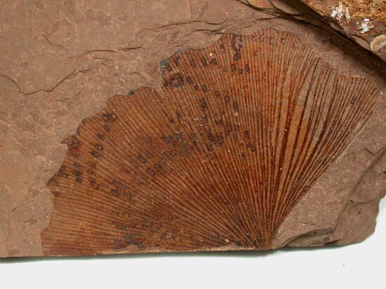 Photo One (Fossil gingko) by By User:SNP(upload to en:wikipedia) ; User:tangopaso (transfer to Commons) (English Wikipedia) [GFDL (http://www.gnu.org/copyleft/fdl.html) or CC-BY-SA-3.0 (http://creativecommons.org/licenses/by-sa/3.0/)], via Wikimedia Commons
