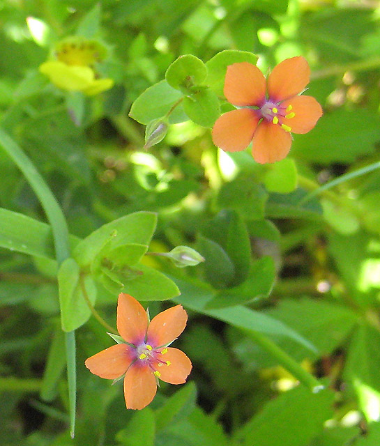 Photo One (Scarlet Pimpernel flowers) by Pauline Eccles [CC BY-SA 2.0 (https://creativecommons.org/licenses/by-sa/2.0)], via Wikimedia Commons