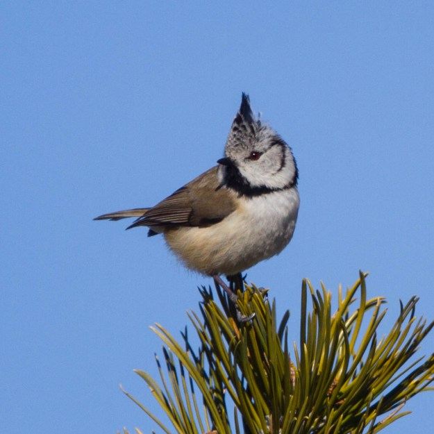 Photo Two (Crested Tit) by By Ron Knight from Seaford, East Sussex, United Kingdom (Crested Tit (Parus cristatus)) [CC BY 2.0 (http://creativecommons.org/licenses/by/2.0)], via Wikimedia Commons