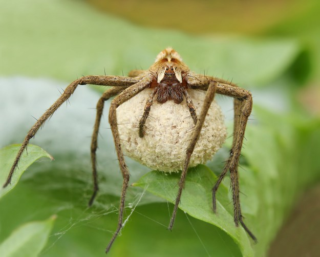 Photo Three by By Lukas Jonaitis from Vilnius, Lithuania (Spider - Pisaura mirabilis) [CC BY 2.0 (https://creativecommons.org/licenses/by/2.0)], via Wikimedia Commons