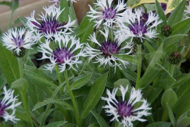 Photo One from https://www.ballyrobertgardens.com/products/centaurea-montana-purple-heart