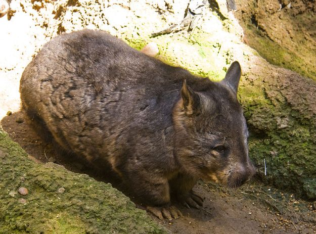 Photo Sixteen by By Jason Pratt - originally posted to Flickr as Southern Hairy-nosed Wombat, CC BY 2.0, https://commons.wikimedia.org/w/index.php?curid=7669805