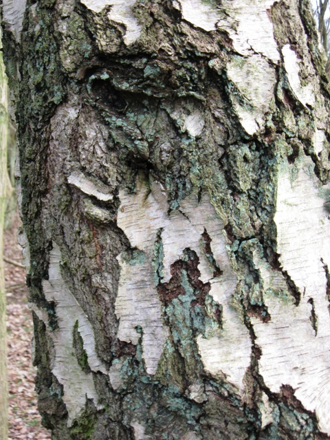 Photo Five by Chris Reynolds / Bark on Old Silver Birch tree