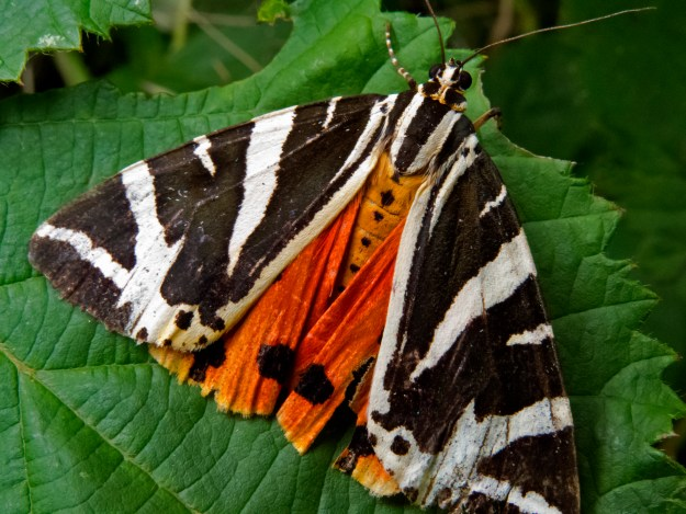 Photo One by By AJC1 from UK - Jersey Tiger Moth, CC BY-SA 2.0, https://commons.wikimedia.org/w/index.php?curid=64517234