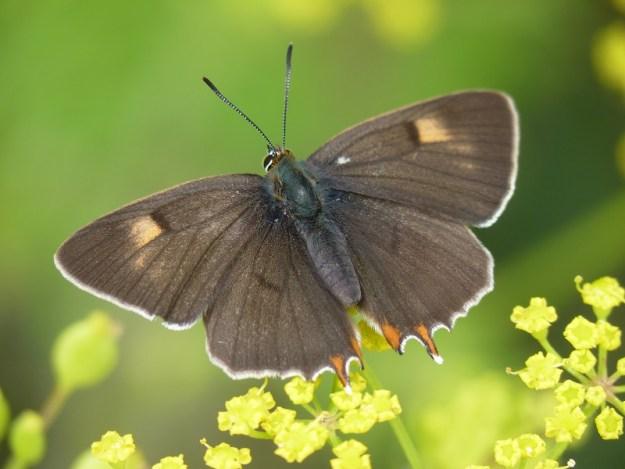 Photo 12)ii by Pauline Richards from https://www.ukbutterflies.co.uk/album_photo.php?id=15580