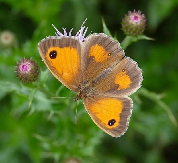 Photo Fifteen ii) by Mark Colvin, from https://www.ukbutterflies.co.uk/album_photo.php?id=11232