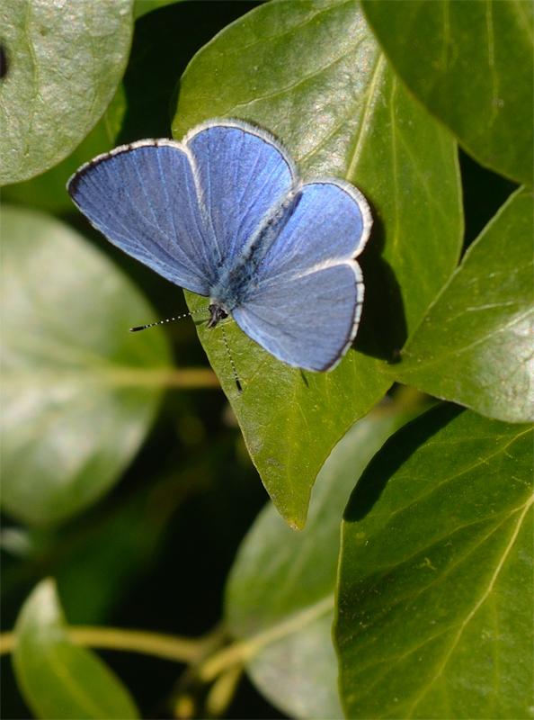 Photo 13)ii by Nick Ballard from https://www.ukbutterflies.co.uk/album_photo.php?id=14474