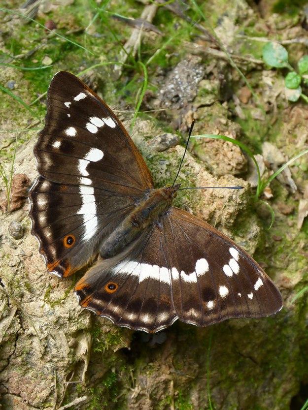 Photo Six ii) by Mark Colvin from https://www.ukbutterflies.co.uk/album_photo.php?id=15226