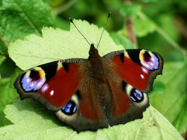 Photo Fourteen by Lynne Kirton / Peacock butterfly (Inachis io)