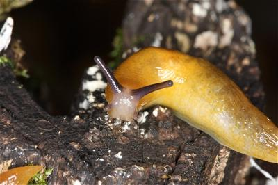 Photo Five by Rosemary Winnall from http://www.wbrc.org.uk/WORCRECD/Issue%2027/lemon_slugs_malacolimax_tenellus.htm