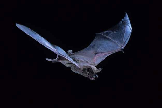 Photo Three by Barry Mansell/Naturepl.com from https://www.newscientist.com/article/2112044-speedy-bat-flies-at-160kmh-smashing-bird-speed-record/