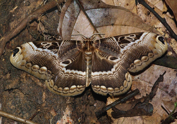 Photo Five from https://www.learnaboutbutterflies.com/Africa%20-%20Dactyloceras%20lucina.htm