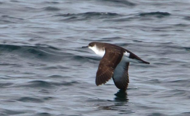 Photo Three By Ómar Runólfsson - Manx Shearwater - Puffinus puffinus - SkrofaUploaded by snowmanradio, CC BY 2.0, https://commons.wikimedia.org/w/index.php?curid=16473743