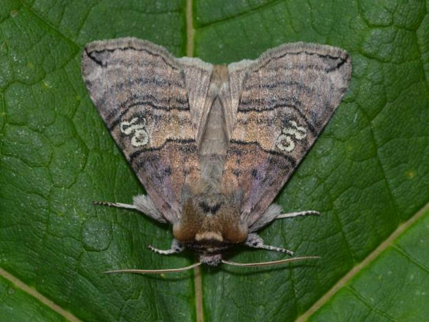 Photo Four by Les Round from https://butterfly-conservation.org/moths/figure-of-eighty