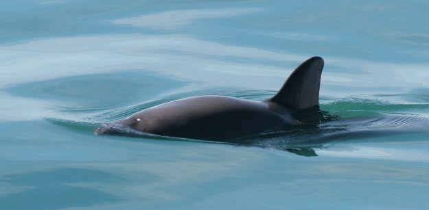 Photo Eight by By Paula Olson, NOAA - http://www.fisheries.noaa.gov/pr/species/mammals/porpoises/vaquita.html, Public Domain, https://commons.wikimedia.org/w/index.php?curid=30588208