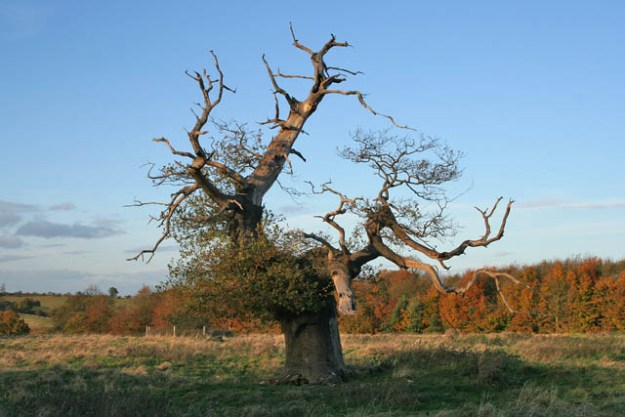 Photo Two by Kate Jewell/Stag-headed oak, Croxton Park