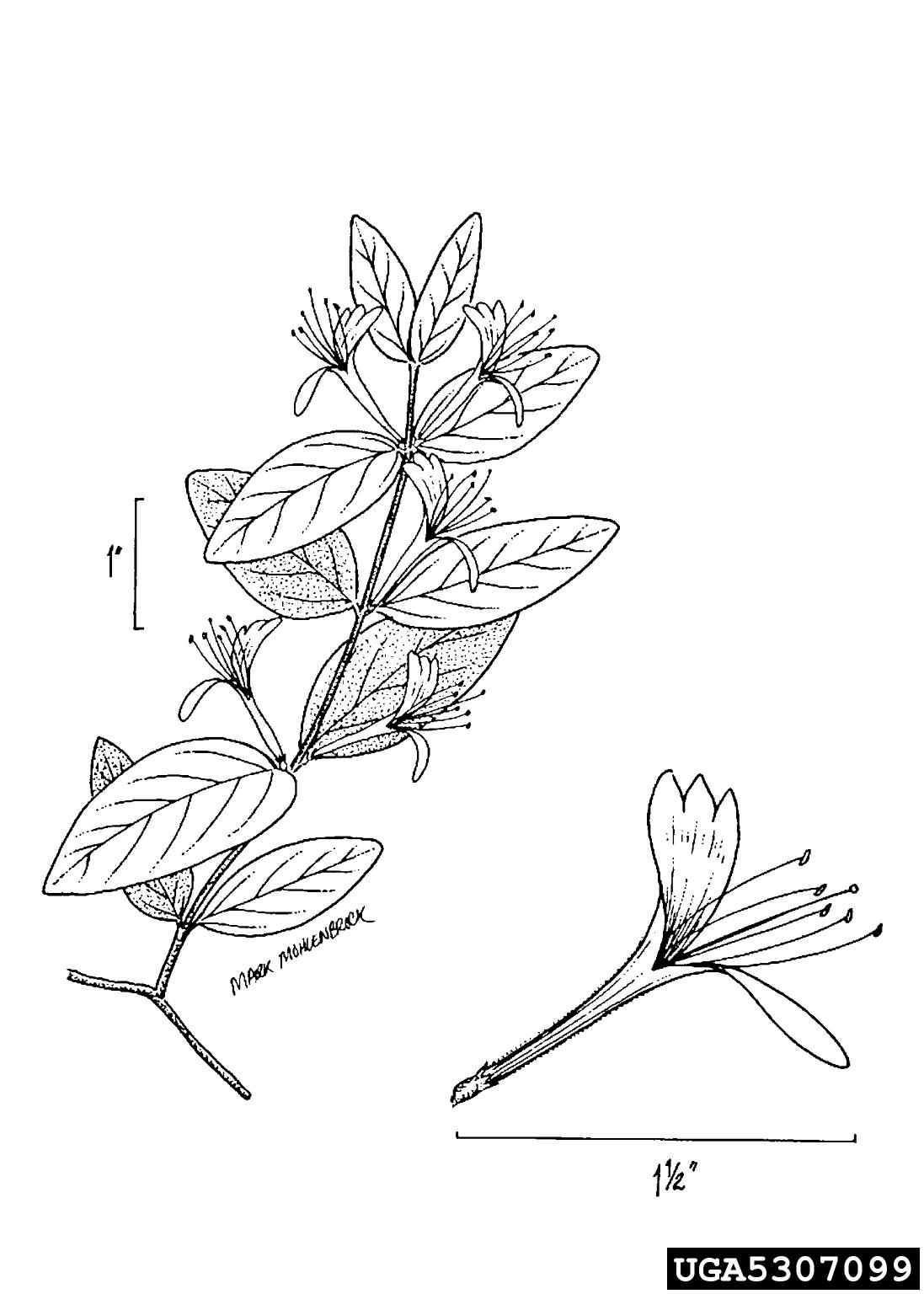 Japanese Honeysuckle Lonicera Japonica Dipsacales
