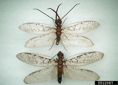dobsonfly, Corydalus cornutus  (Neuroptera: Corydalidae) - 5512087