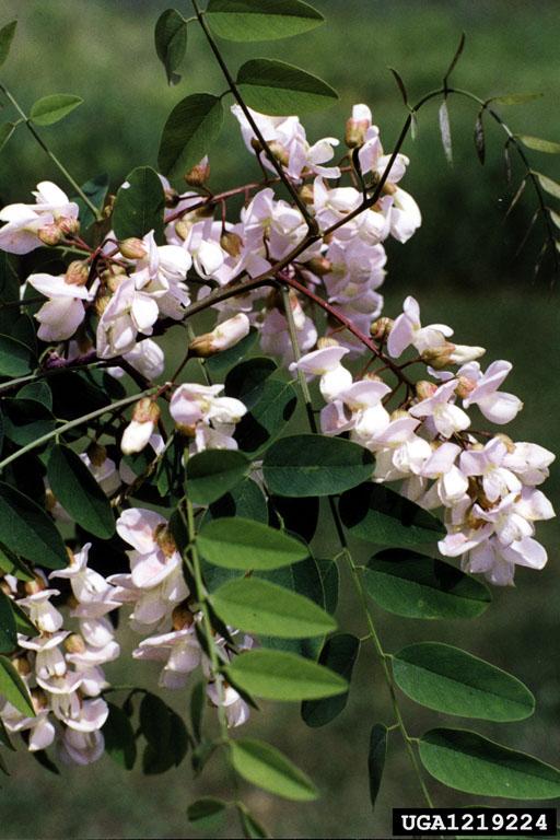 Black Locust Robinia Pseudoacacia Fabales Fabaceae