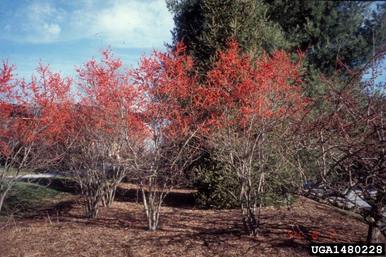 Common Winterberry Ilex Verticillata Celastrales