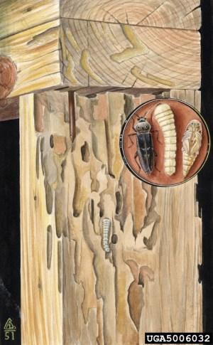 old house borer, Hylotrupes bajulus (Coleoptera: Cerambycidae)  5006032