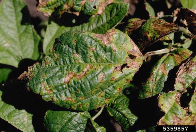halo blight (Pseudomonas savastanoi pv. phaseolicola) on