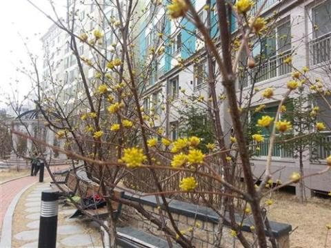 Sansuyu tree is ready for spring!