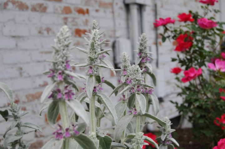 Beautiful perennial plants that can be easily transplanted or divided to share with friends   Building Bluebird #gardening #englishgarden #perennials #nativeplants