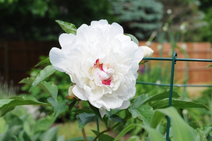 Beautiful perennial plants that can be easily transplanted or divided to share with friends   Building Bluebird #gardening #englishgarden #perennials #nativeplants #peony