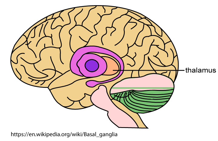 A drawing showing that the parts of the brain to be treated lie deep inside the brain.