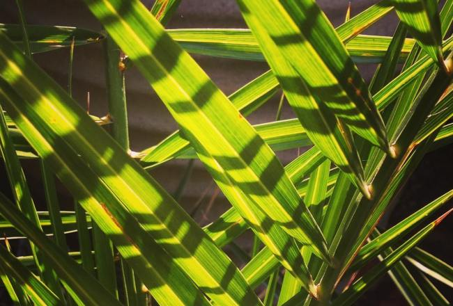 Sunny garden living #london #tooting #balham #palm #interior #inspirationoftheday #Blissful #exterior #exteriordesign #textile #pattern #foliage #leag #green buildmumahouse Jola Piesakowska garden design