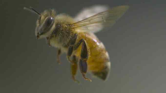 Budidaya Lebah Madu. Jenis Mellifera
